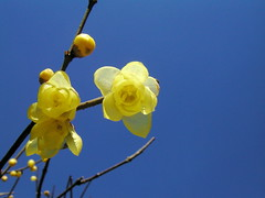 Winter sweet ( (hamapenguin) Tags: winter flower narcissus wintersweet   abigfave