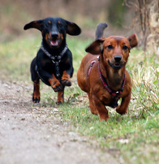 The wildbunch 2 (Buikschuivers) Tags: friends brown dogs brothers dachshund blackdog browndog browndogs daschund teckel teckels buikschuivers natteneuzen