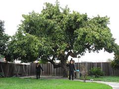 Avocado Tree (joeysplanting) Tags: tree me avocado joey joel nanay
