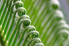 Curvy (olvwu | ) Tags: usa baby fern green nature ga georgia leaf curvy savannah top20 cycads sagopalm musicalreferences jungpangwu oliverwu oliverjpwu flickrexplore 10favs 20favs cycadales cycadfamily cycasrevolutathunb ancientplant     olvwu jungpang