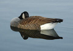 Coy (ozoni11) Tags: 15fav lake nature beautiful birds 510fav wow geese duck interestingness pond perfect ducks peaceful goose explore waterfowl graceful tranquil canadagoose i500