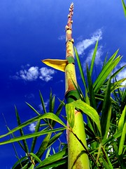 My bamboo shooting up into the sky (joaobambu) Tags: blue sky plant green planta nature topf25 clouds canon catchycolors blog interestingness cool interesting topf50 topv555 topv333 shoot topv1111 stock topv999 bamboo blogspot blogged topv777 growing bambu pro1 bambusavulgaris flexible bambooshoot broto topf65 brotodebambu brotando imagekind httpsoloenlaacerablogspotcom
