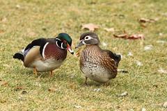 Wood ducks, Aix sponsa (jlcummins - Washington State) Tags: yakimacounty yakima washingtonstate bird waterfowl terraceheightsmemorialpark woodduck duck