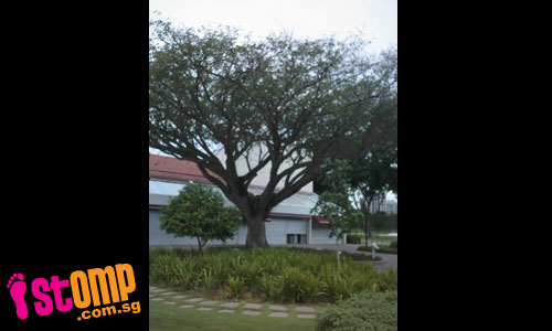 Why was this famous tree at East Coast Seafood Centre removed?