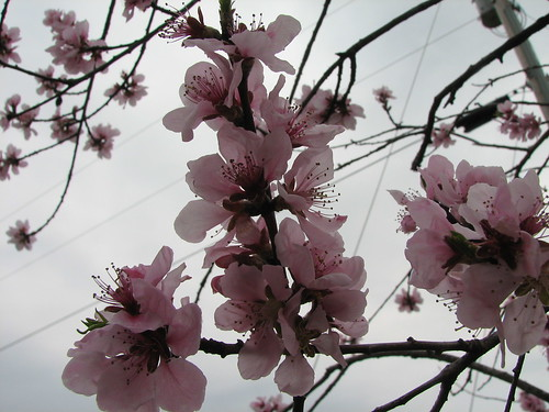 Happy Cherry Blossoms