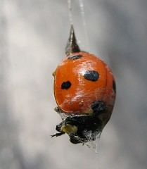 Lightly trussed ladybird - by nutmeg66