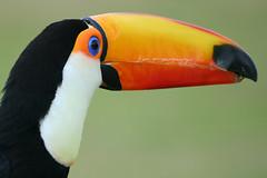 IMG_5024 (Thowra_uk) Tags: wild orange bird eye animal canon 350d zoo toucan beak sigma safari tropical colourful whipsnade whipsnadezoo