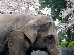 Umeko in spring (hamapenguin) Tags: elephant flower castle nature animal japan cherry spring  sakura cherryblossoms odawara   animalplanet  japanesecherry   thebiggestgroup
