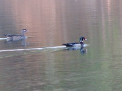 Wood ducks Little Miami