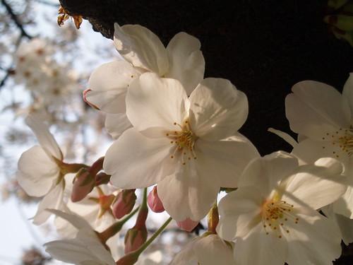 鴨川桜20070409 025