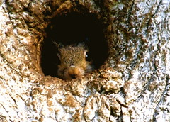 I Feel Safe Here!!! (mightyquinninwky) Tags: baby cute nature animal eyes squirrel nest 10 5 kentucky lexingtonkentucky 200 urbannature urbanwildlife 100 300 fabulous onwhite shiningstar knothole onblack aclass squirrelnest naturesart fontaineroad chevychasearea 123nature thinkgreen spectacularnature 1on1nature fayettecountykentucky twtme centralkentucky viewonblack nomore1word flickrhearts welovecomments 1on1animalsnonpet lmaoanimalphotoaward globalvillage2 othervillage tree heartsaward viewonwhite mymagicyellowdress ilovemypics spiritofphotography qualitypixels hollywoodkentucky hollywoodlexingtonkentucky oldsuburbnowdowntown