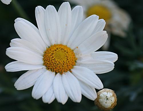 Margerite - Leucanthemum