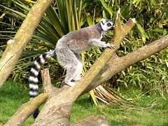 460350077 96644bb742 m Ring Around the Lemur