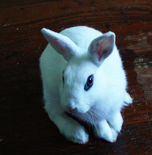 Blue Bunny!