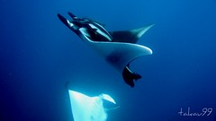Manta Dance at Koh Bon Island, Thailand (_takau99) Tags: ocean trip travel bon sea vacation holiday fish uw nature water topv111 topv2222 thailand island lumix islands topv555 topv333 marine asia southeastasia ray underwater action stingray wildlife indian pair topv1111 topv999 indianocean topv444 dive scuba diving topv222 panasonic explore thai tropical april scubadiving topv777 phuket topv666 topf10 topf15 manta similan khaolak 2007 mantaray andaman andamansea topv888 similanislands topf5 topf20 fx30 similanisland explore500 kohbon takau99 myliobatidae edive dmcfx30 lumixfx30
