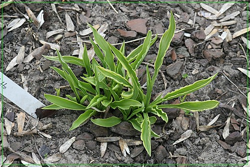 Hosta 'stiletto'