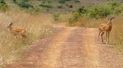 Gazelle's in the way