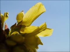Blessed by the Sun (Kirsten M Lentoft) Tags: sky sunlight flower yellow forsythia momse2600 kirstenmlentoft
