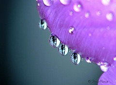 Purple Dew (Fir..) Tags: macro water closeup droplets drops dof purple magenta depthoffield pearl closeshot shallowdepthoffield blurrybackground eow anawesomeshot colorphotoaward superaplus aplusphoto waterdropets flickrelite