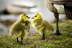 New Goslings (Mark Klotz) Tags: canada cute nature geese bravo bc goslings animalplanet canadageese feathery animalbabies babyanimals babygeese burnabylake markklotz