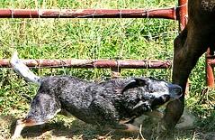 Spud Heeling (zingpix) Tags: usa dog dogs jeff washington all cattle © australian rights queensland jeffrey australiancattledog reserved heeler acd spud blueheeler herding ©allrightsreserved zingpix jeffjaquish jaquish jeffreyjaquish