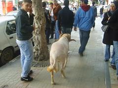 Mouton de combat