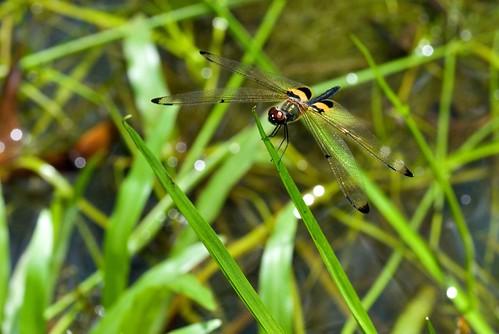 Yellow & Black Dragonfly
