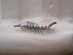 Western Tussock moth larvae