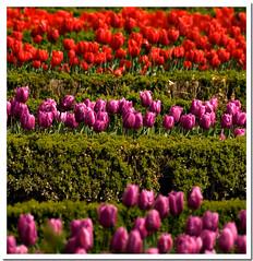 colour lines (R.Duran) Tags: madrid espaa flower color colour garden spain nikon bravo merci flor jardin botanico tulip botanic d200 goodwork faved tulipes tulipan supershot specnature 18200mmf3556 colorphotoaward ltytr1