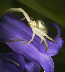 """Flower Spider (Misumena vatia) • <a style=""""font-size:0.8em;"""" href=""""http://www.flickr.com/photos/57024565@N00/479845565/"""" target=""""_blank"""">View on Flickr</a>"""