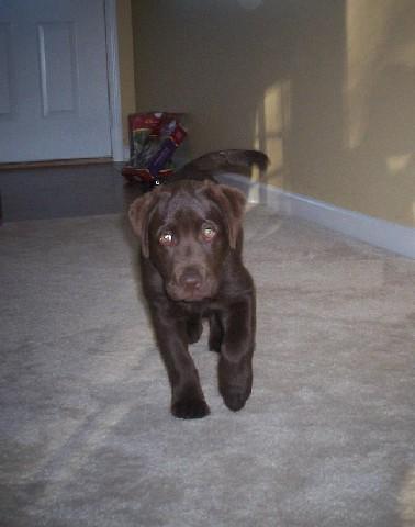 labrador puppy - Lola