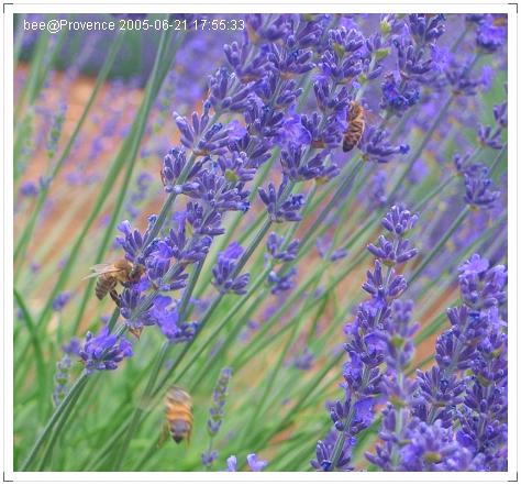採薰衣草蜜的蜜蜂們