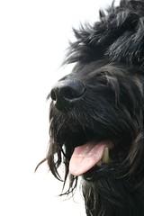 Tommy 060 (Amigrante Nnimo) Tags: portrait dog chien cane fur retrato hond tommy perro hund portret pelo badbreath peludo elmejoramigodelhombre malaliento muchopelo elmejoramigodestehombre