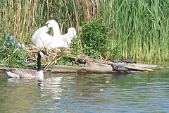 Red-Eared Terrapins, Canada Goose and Mute Swan on Canada Water