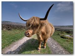 Highland Cow (Sigma @ 10mm) (Jonnyfez) Tags: animal cow farm derbyshire peakdistrict horns highlandcattle hdr highlandcow curbar sigma1020