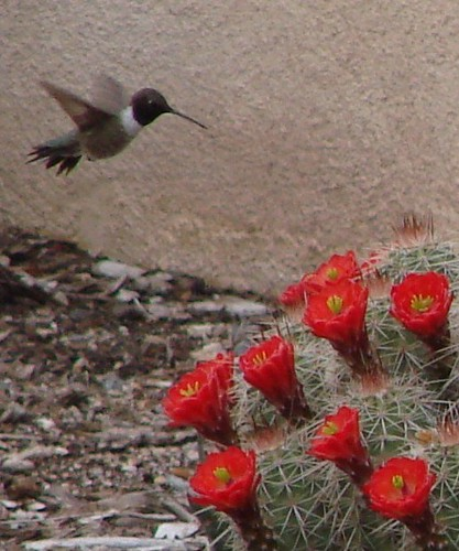 hummingbird and claret cup cactus -- cropped