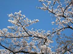 「ねねの道」に咲く桜さくら