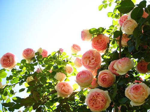 le rose di boccaccio