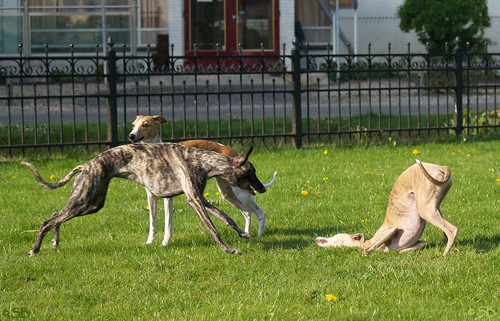 Whippets, Coco and Tiger