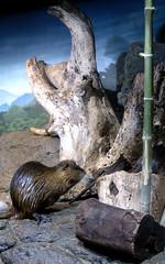 Otter on the Set (balrogs kill) Tags: thailand aquarium bangkok otter krungthep balrogskill siamoceanworld