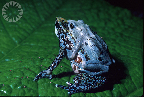 Poison Dart Frog -- smithsonian nature public rain natural probably domain science probablypublicdomain animals naturalscience rainforest