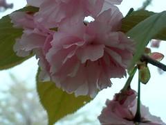 八重桜 下向き