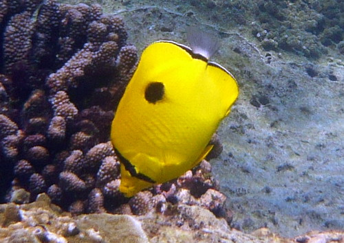 Indian Teardrop Butterflyfish on Similan Islands
