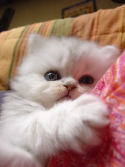 Chaton (catherine.caf) Tags: cat persian kitten chat chaton persan cc800 cc900 kissablekat bestofcats impressedbeauty ultimateshot superbmasterpiece diamondclassphotographer flickrdiamond pet100 alemdagqualityonlyclub