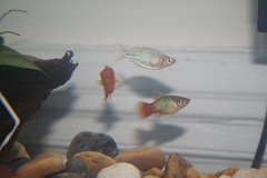 Rainbowfish and Platies by crschmidt, on Flickr