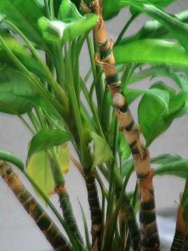 Cubical Bamboo