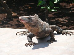 Iguana wanna french fry?