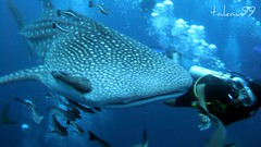 Whale Shark at Koh Tao Island