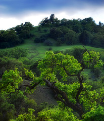 Oak (surfwax) Tags: tree green forest oak topf50 500v20f topc50 sonoma 50mm14 cloverdale hdr russianriver orton naturesfinest blueribbonwinner d80 abigfave 30faves30comments300views impressedbeauty hdrmeetsorton 200750plusfaves treesubject top20green diamondclassphotographer flickrdiamond superhearts thegoldenmermaid proudshopper foreststnc09