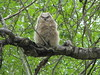My little buddy (annkelliott) Tags: canada calgary bird nature wildlife explore alberta owl ornithology birdofprey greathornedowl bubovirginianus interestingness225 featheryfriday i500 explore2008november29